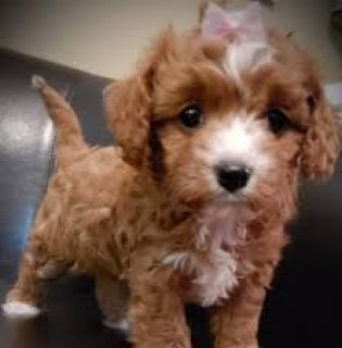 Beautiful teacup Poodle puppies available for sale.