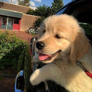 Cute Golden retriever puppies for sale WhatsApp +17722060618