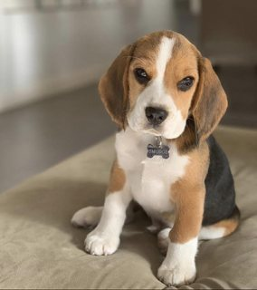 Beagle for rehoming WhatsApp+17722060618