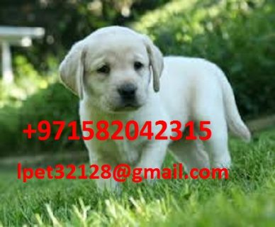 Labrador Puppies for rehoming