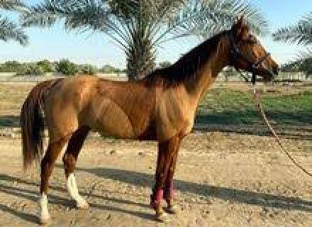 Arabian Qatar Breed hoses available