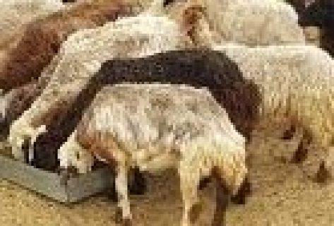 خرفان مهجنات ( نعيم و نجد ), العين , مزرعة رماح بسعر 9000