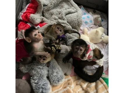 القرود الكبوشية النادرة المتاحة