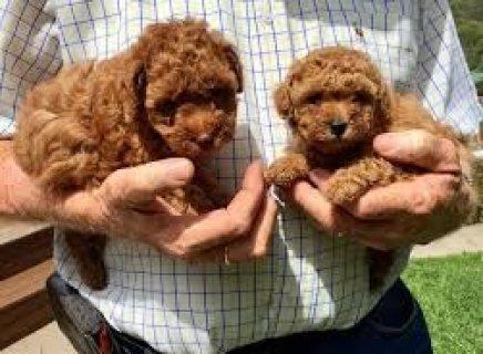 Adorable teacup Poodles puppies