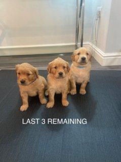 Golden retriever puppies for sale now whatsapp +971504185305