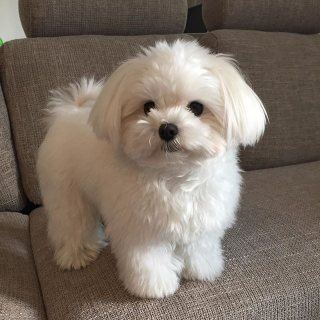 ice and Healthy Maltese Puppies Availables