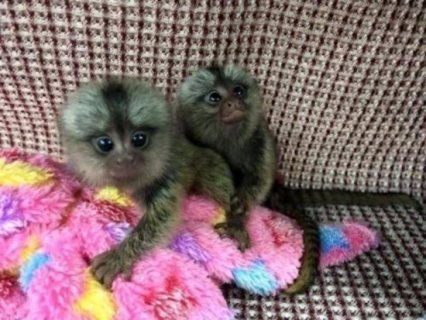 Male and Female Marmoset Monkeys Available For Sale WHATSHAPP +971504185305