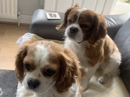 king Charles puppy searching for a home