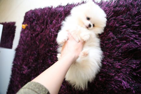 LOVELY TEACUP POMERANIAN PUPPIES AVAILABLE