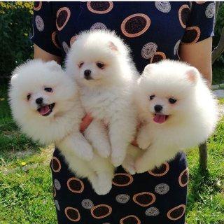 Pomeranians puppies for adoption