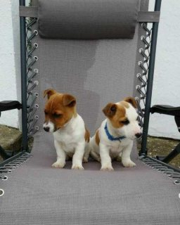 Sweet Jack Russell Terrier Puppies for sale