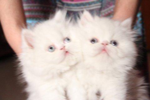 للبيع قطط شيرازية بيكي فيس درجة اولى للعمر شهرين