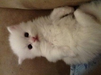 قطط شيرازي بيضاء للبيع - Shirazi kittens for sale