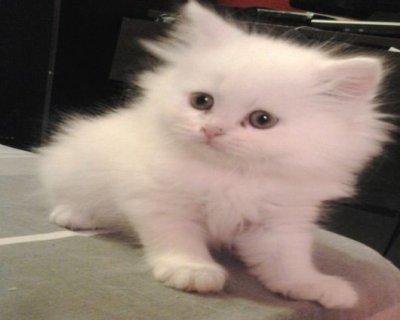 قطط شيرازي بيور صغيرة للبيع