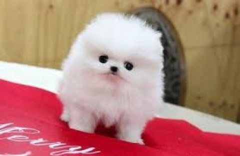 Tiny Teacup Pomeranian Puppies For sale,,,£??>?>?>