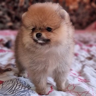 Pomeranians puppies available for adoption