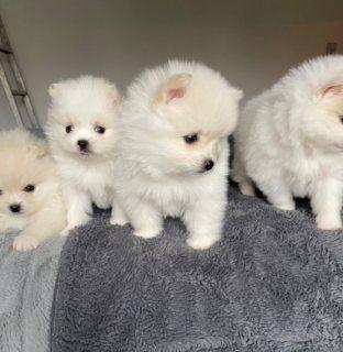 كلاب صغيرة كلب صغير طويل الشعر للبيع
