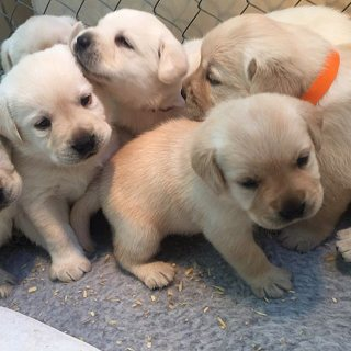 Friendly labradors puppies for sale