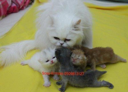 قطط شيرازية اصلية للبيع