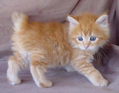 قطط  شيرازي رائعة للبيع