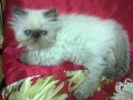 قطة هملايا بلو بيكي فيس بيور أصلية للبيع