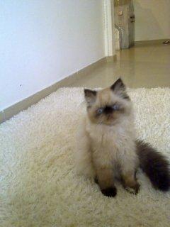 قطط هيمالايا بيكي فيس أصلية للبيع
