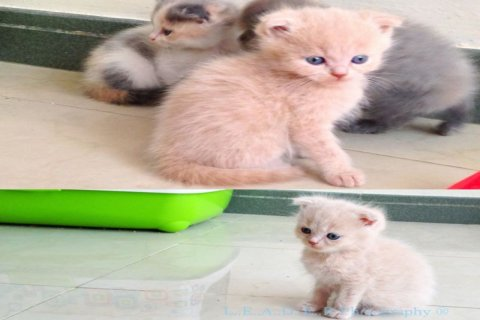 Pure scottish fold multicolor kittens