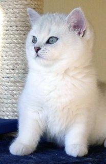 القطط الفارسية والقطط