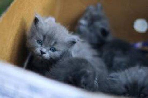 للبيع قطط برتش شورت هير الاصلي