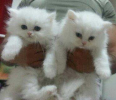 قطط شيرازي بيضاء