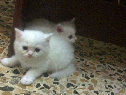 4 قطط شيرازية بيضاء  للبيع