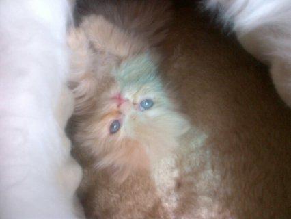 قطة شيرازية (مون فيس) للبيع