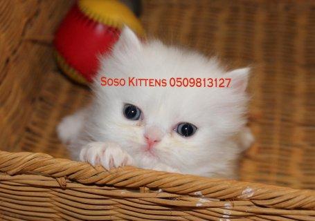 قطط شيرازية مميزة للبيع