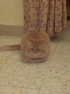 Shirazi Cats قط شيرازي