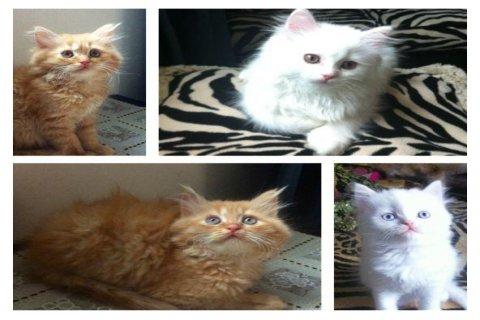 قطط شيرازي أصلي متميزة
