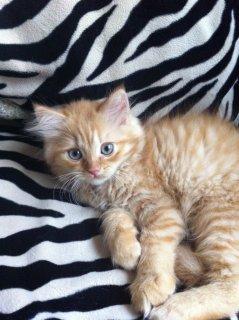 قطط شيرازي متميزة