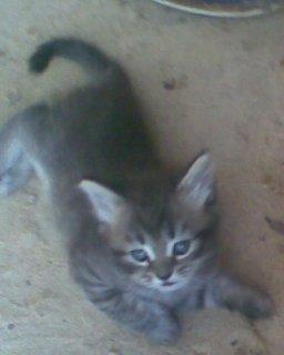 للبيع قطط صغيرة بيور