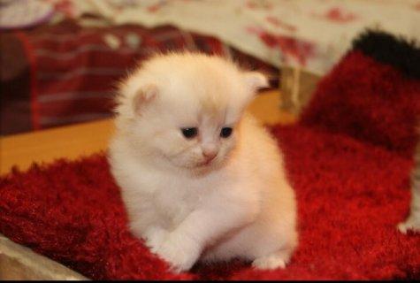 قطط شيرازية  40يوم
