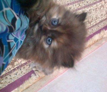 قطط شيرازية صغيرة للبيع