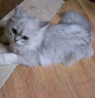 قطط شانشيلا بيور للبيع