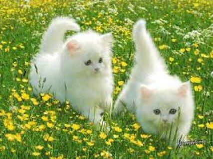 استضافة جميع انواع القطط (حصري)
