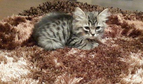 قطط صغيرة للبيع العمر شهر و نصف