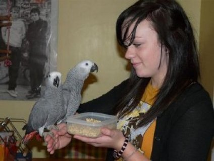 Pair of African Greys