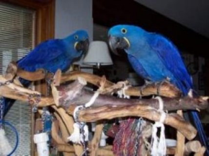 Female Hyacinth Macaw Parrot for Sale