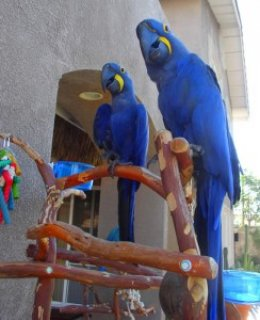 Hyacinth Macaw Parrot For Rehoming