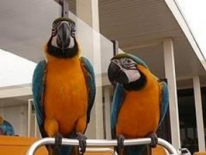 Well Trained Blue and Gold Macaw Parrots