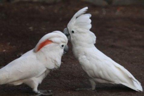 Beautiful pair of Umbrella Cockatoos