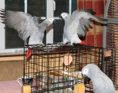 Congo African Greys for Adoption