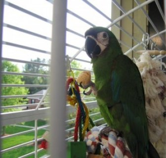 Pretty Hahns Macaw with Huge Cage