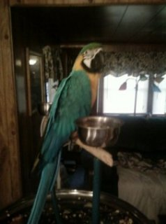 Miligold Macaw for Sale